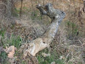 Cerbiatto radice 005