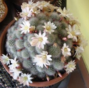 Le piante grasse generose di fiori